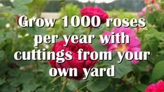 Grow roses from cuttings the easiest, most reliable way. Collect hard-to-find roses. Take cuttings as shown in this video. Rose Cuttings, Rose Propagation, Rooting Roses, May Garden, Plant Diseases, Mother Plant, Raised Garden Beds, Raised Bed, Garden Care