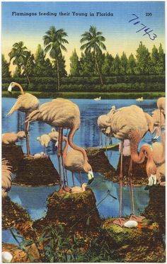 Flamingos feeding their young in Florida