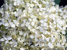 White Flowers Free Stock Photo - Public Domain Pictures