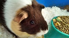 """My girlie guinea pig """"Lil' Cokie Ann"""" She is very special to me.  I love her and she is my baby also."""