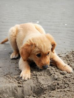Golden retriever puppy by Tess Beverwijk