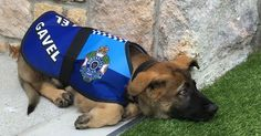 A police dog has been sacked from his job  but its for the best reason possible. One-year-old Gavel is just too friendly to be in the force.  The pup loves rolling over and having his belly rubbed rather than standing to attention and looking menacing.  The police dog-in-training failed to make the final cut for Queensland Police Service in Australia because of his overly-sociable temperament.  But luckily for the cheeky canine he was offered a new role welcoming visitors to Brisbanes…