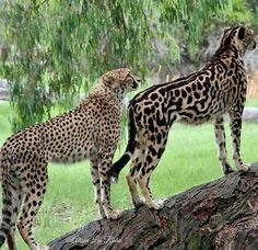 A cheetah and a rare king cheetah with darker spots and lines running down her back. King cheetahs are the product of a recessive gene that causes a rare fur pattern mutation. Big Cats, Cool Cats, Cats And Kittens, Tabby Cats, Siamese Cats, Rare Animals, Animals And Pets, Wild Animals, Beautiful Cats