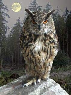 A large horned owl.Aidan took this shape in book 1 dark prince Beautiful Owl, Animals Beautiful, Cute Animals, Owl Photos, Owl Pictures, Owl Bird, Pet Birds, Vogel Illustration, Buho Tattoo