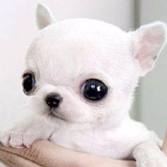 Applehead Chihuahua cutie pie