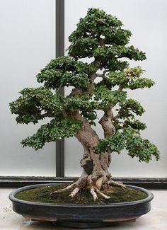 How to care for your Ficus Bonsai Bonsai Tree Types, Bonsai Tree Care, Indoor Bonsai Tree, Indoor Plants, Ikebana, Jade Bonsai, Ficus, Art Floral Japonais, Plantas Bonsai