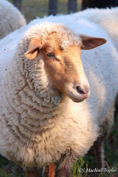 Tunis Sheep - one of my short-list of possible breeds to raise! From Little Hills Sheep Ranch Farm Animals, Animals And Pets, Cute Animals, Sheep Art, Sheep Wool, Sheep Paintings, Baa Baa Black Sheep, Sheep Breeds, Cute Sheep