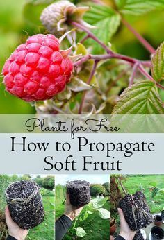 Create new plants by taking cuttings and encouraging them to grow roots. This how-to shows you how to propagate Soft Fruit including Raspberries, Thornless Blackberries, Redcurrants, Blackcurrants, and more!!