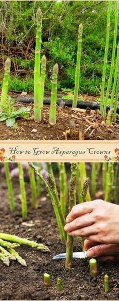How to Grow Asparagus Crowns - kitchen Garden - Plantio Organic Gardening, Growing Asparagus, Herbs, Plants, Growing Plants, Herb Garden, Lawn And Garden, Food Garden, Container Gardening