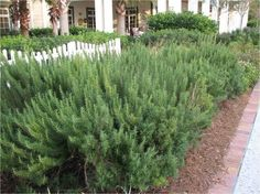 Rosemary bush - 2 at our front entrance