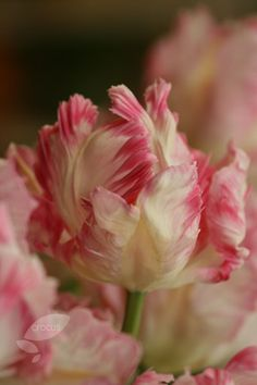 Buy parrot tulip bulbs Tulipa 'Silver Parrot': Delivery by Crocus.co.uk