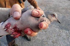 In Fallen gefangen und erschossen - Rund ums Mittelmeer werden jährlich 25 Millionen Vögel getötet
