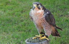 Falco peregrinus brookei, Halcón peregrino