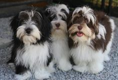 Check Out Havanezer Havanese Puppy Havanese Haircuts, Havanese Grooming, Havanese Puppies, Cute Puppies, Dogs And Puppies, Puppies Tips, Maltipoo, Labradoodle, Dog Grooming