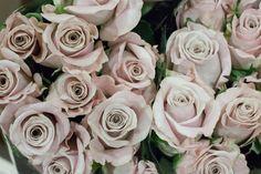 Grey-pink 'Menta' rose