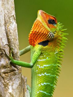 Green Forest Lizard - David Cook Wildlife Photography