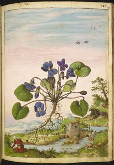 Full page botanical painting of Viola odorata or 'Viola' with a countrywoman gathering plants and a stream with a weir and watermill with smoke coming out of the chimney.   Dioscorides' 'De re medica', by Pietro Andrea Mattioli, Physician of Siena, assembled and illustrated by Gherardo Cibo—ca. 1564-1584.