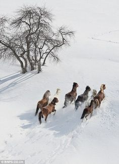 Galloping across the snowy steppe, stunning pictures of the wild horses of…