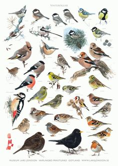 Wader Quest has been able to secure 26 signed copies of the new Lars Jonsson poster showing some winter birds to be seen in Sweden. Vogel Silhouette, Bird Identification, Bird Poster, Bird Theme, Backyard Birds, Bird Drawings, Bird Illustration, Science And Nature, Bird Watching