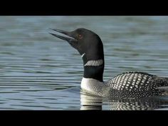 Nothing like the sound of a loon on a Wisconsin lake!