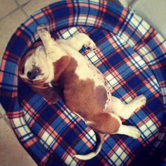 It's amazing how Basset Hounds can find the perfect, comfortable way to sleep