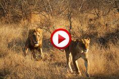 Battle at Kruger #lions, #videos, #videobox, #pinsland, itunes.apple.com/...