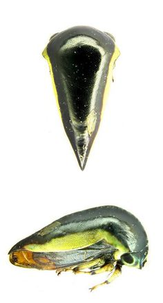 Stictopelta sp.1  (from insects of Guyana)