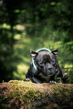 Hundefotografering i skogen. Lekne bilder med frie hunder! Actionbilder viser hunden i sitt rette element. Types Of Animals, Staffordshire Bull Terrier, Family Dogs, Animal Kingdom, Pet Care, French Bulldog, Fine Art, Studio, Dogs