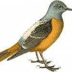 Public domain bird graphics