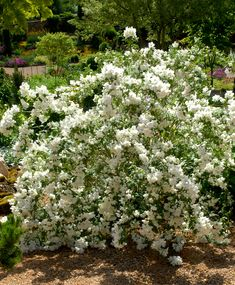 Le dictionnaire des plantes par Ooreka.fr : Seringat (fiche d'identité, variétés, plantation, culture, entretien et maladies)