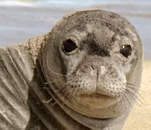 Monk Seals: perhaps the cutest animal. Endemic, endangered and another reason to go to Kauai. #animals #Hawaii