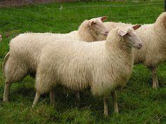 Fotogalerij het Fries Melkschaap | Melkschapen in Nederland