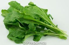 Arugula / Italian Cress / Rocket / Roqueta / Roquette / Rucoloa / Rughetta :: Search by flavors, find similar varieties and discover new uses for ingredients @ preppings.com