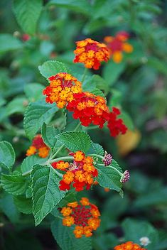 Lantana Delight - love this plant had this in my yard when I was a kid. Love the variegated flowers that bloom from it.