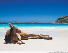 Canguro rilassando sulla spiaggia, Immagini Divertenti