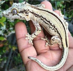 Gargoyle Gecko                                                                                                                                                                                 More