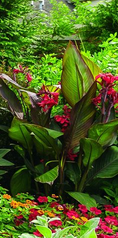 Proven Winners - Toucan® Scarlet - Canna Lily - Canna generalis red scarlet to red plant details, information and resources. Canna Lily Landscaping, Home Landscaping, Tropical Landscaping, Landscaping With Rocks, Tropical Backyard, Tropical Plants, Lilly Plants, Lilly Garden, Sunken Garden