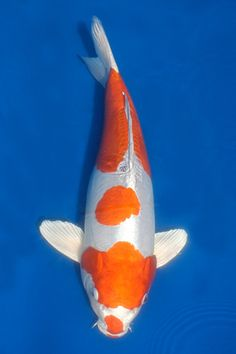 White butterfly koi beautiful flowing elongated fins for Exotic koi fish