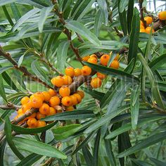 image de Hippophae rhamnoides Planting Flowers, Photos, Image, Gardens, Shrubs, Plants, Index Cards, Salt, Flowers