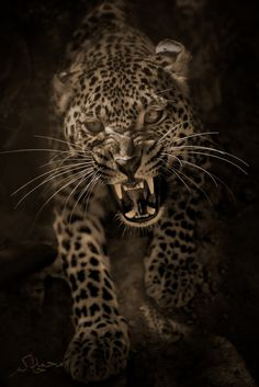 """An Angry leopard"" by Mohamed Hakem"