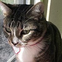 Washougal Washington Domestic Shorthair Meet Precious A For Adoption Https Www Adoptapet Com Pet 24735196 Washougal Washington C Pets Pet Adoption Cats