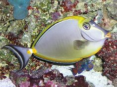 The Blonde Naso Tang, Naso elegans, also known as the Elegant Tang or the Orangespine Unicornfish, due to the pair of spines surrounded by a bright orange are Saltwater Tank, Saltwater Aquarium, Reptile Cage, Reptile Enclosure, Salt Water Fish, Marine Fish, Ocean Creatures, Exotic Fish, Horse Care