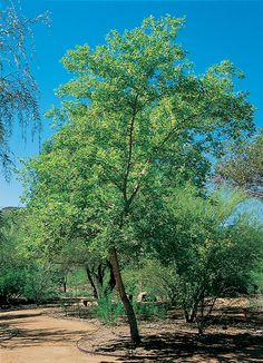 Indian Rosewood Tree  Did you know? Rosewood in skincare lifts and firms skin.