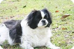 Yardley, PA - Pekingese Mix. Meet Thea B Great baby!, a dog for adoption. http://www.adoptapet.com/pet/13435551-yardley-pennsylvania-pekingese-mix