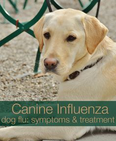 Dog Flu: A guide to the causes of canine influenza, the symptoms and how to treat and avoid canine flu.