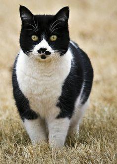 Neighbors Tuxedo Cat looks a bit like Inspector Clouseau!