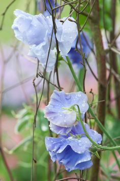 sweet peas-he planted them in the backyard of the first house on Patterson