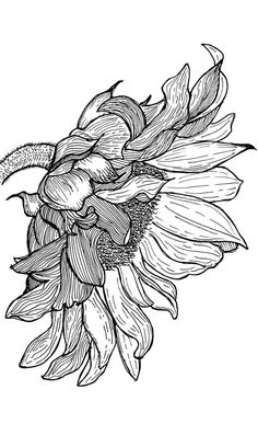Sunflower Sketches, Sunflower Drawing, Sunflower Art, Watercolor Sunflower, Fall Drawings, Ink Pen Drawings, Zentangle Drawings, Black And White Drawing, Black Pen Drawing