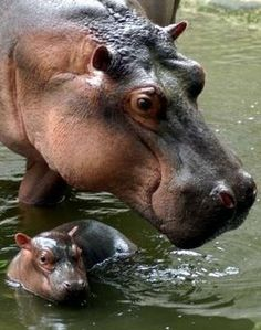 Hippopotamus With Her Young Calf.