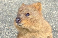 Meet the Quokka: The Happiest Animal On Earth 6 - https://www.facebook.com/different.solutions.page